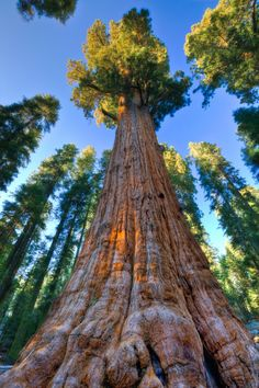cherjournaldesilmara: General Sherman, Sequoia National Park, Sierra Nevada - California