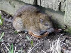 Norway Rats Are Chewing In Pittsburgh - http://spectrumpestcontrolinc.com/2013/04/07/norway-rats-pittsburgh/