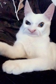 My cat with snapchat-filters embodies the general feeling towards EA right now. Funny Animal Pictures, Cute Funny Animals, Funny Cats, Funny Filters, Snap Cat, Snapchat Filters, Cat Memes, Crazy Cats, Picture Video