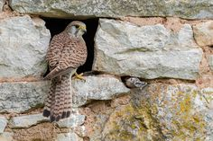 Common Kestrel by FranoisSchneider #animals #animal #pet #pets #animales #animallovers #photooftheday #amazing #picoftheday