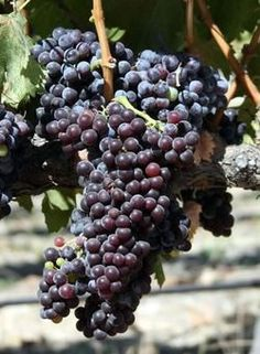 The Grenache wine grape, known for its thin-skinned sweetness, pale color, and red fruit flavors, rightfully deserves an ovation.