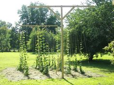 2011 Hop Garden Picture Thread - Page 26 - Home Brew Forums