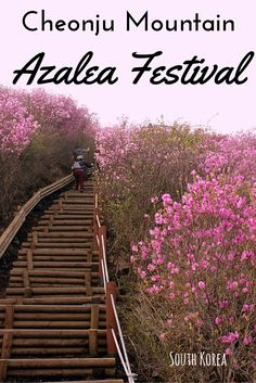 Looking for a Korean Spring Festival off the beaten path? Why not try the Cheonju Mountain Azalea Festival in Changwon City. More pinkness than you can probably handle!