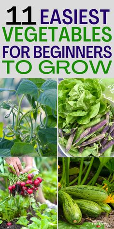 Are you a beginning gardener? Learn which crops are the easiest to grow for beginners. Here are 11 easy to grow vegetable for beginning gardeners to try- plus how to guides!