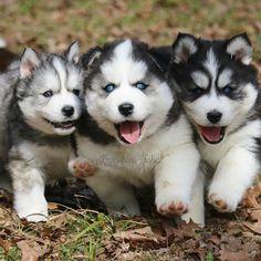 "640 Likes, 15 Comments - Keeperofstars Huskies (@keeperofstarshuskies) on Instagram: ""My happy happy Huskies ❤️🐾#keeperofstarshuskies #huskiesofig #huskygram_ #puppygram #furbaby…"""