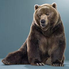 Grizzly Bear 'Koda' photographed in Frazier Park, Kern, California. Jill Greenberg