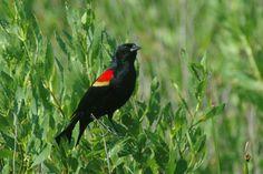 Carouge à épaulettes - Agelaius phoeniceus - Red-winged Blackbird