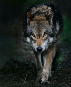 The Wolf is highly intelligent and lives within a highly structured social system within his pack: Save The Wolves: Beautiful Wolves, Animals Beautiful, Cute Animals, Wild Animals, Baby Animals, Wolf Photos, Wolf Pictures, Wolf Love, Tier Wolf