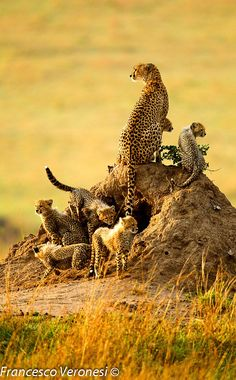 Mother cheetah with 6 cubs, Africa