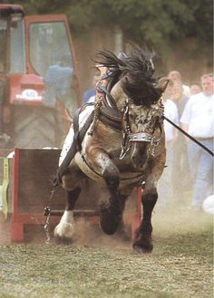 The strength of draft horses (or even normal sized horses) never seizes to amaze.                                                                                                                                                      More