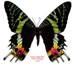 Urania ripheus (sunset moth) is a stunning moth from Madagascar widely used in artwork. It is one of the most vibrantly coloured moths in the world.