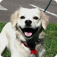 San Luis Rey, CA - Cocker Spaniel/American Eskimo Dog Mix. Meet IVORY, a dog for adoption. http://www.adoptapet.com/pet/17603876-san-luis-rey-california-cocker-spaniel-mix