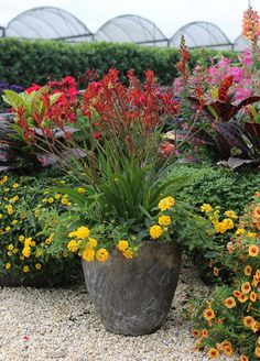Bold color for the heat --- red kangaroo paw + yellow lantana = so much fun! Container Gardening Vegetables, Container Plants, Flower Containers, Vegetable Gardening, Flower Planters, Flower Pots, Diy Flower, Flowers Garden, Beautiful Gardens