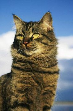 Katze gestreift getigert sitzend Portrait