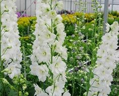 Hybrid Elatum White River - Delphinium - Flowers and Fillers - Flowers by category | Sierra Flower Finder