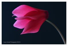 Pink Cyclamen by Alyson Fennell on 500px