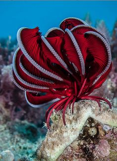 #red #Crinoid by Robert Rath