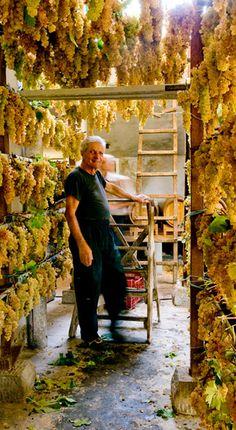 Fattoria Ambra - Grapes for Vin Santo di Carmignano, Italy
