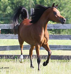 Round Mountain Arabians  |  Straight Egyptian Horses For Sale