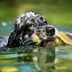 Black Dogs Breeds, Dog Breeds, English Setter, Sounds Good, Coat Patterns, Hunting Dogs, Animals, Animales, Animaux