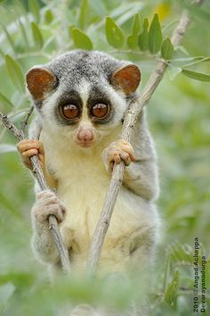 """Slender loris: """"This miniature, saucer-eyed primate appears to be wearing permanent jam-jar-bottom spectacles. It gets its name, though, from its exceptionally long, thin limbs. Its soft thick fur is grey to reddish-brown on top and whitish-grey below."""" 100 Animals To See Before They Die www.bradtguides.com"""