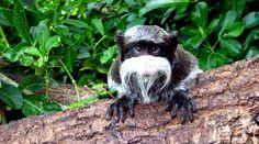 Emperor Tamarin at Marwell Zoo Marwell Zoo, Emperor, Owl, Bird, Cute, Animals, Animales, Animaux, Owls