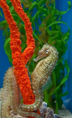 Seahorse on coral Underwater Creatures, Underwater Life, Ocean Creatures, Salt Water Fish, Salt And Water, Beautiful Creatures, Animals Beautiful, Life Under The Sea, Sea Dragon