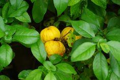 Dwergkwee / Kweeappel (Chaenomeles japonica) #Dwergkwee #Kweeappel #Chaenomeles #Japonica