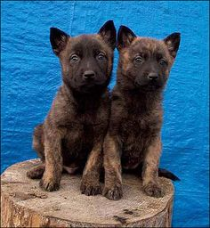 dutch shepherd puppies. cuuute! This what my Kava must have looked like when she was little