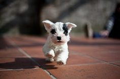Sealyham Terrier puppy omg please can I have one !!!!