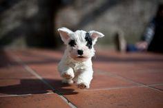 Sealyham Terrier puppy LOVE LOVE LOVEEE