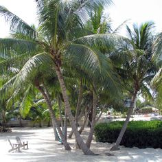 Coconut palms in the Florida Keys. Florida Style, Florida Keys, Florida Plants, Indian Village, Palm Fronds, Cocoa Beach, Tropical Design, Vintage Florida, Outdoor Plants
