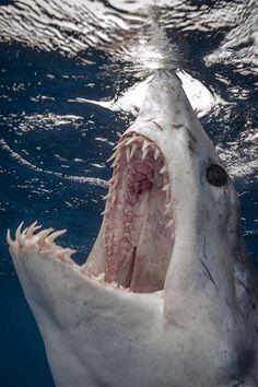 Crazy Mako Shark teeth