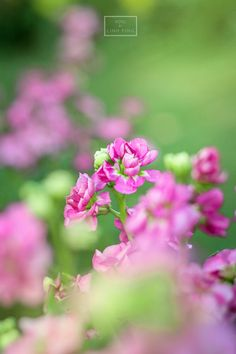 Pink Flowers @ Chiang Mai, Thailand