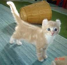 American Curl Cat - Bing images