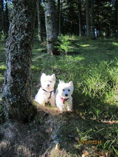 West Highland Terrier, West Highland White, White Terrier, White Dogs, In Loving Memory, Westies, Scottie, Cousins, Wonders Of The World