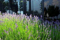 Sunday Mood Lavendel http://www.alnisfescherblog.com/sunday-mood-week-26-2017/