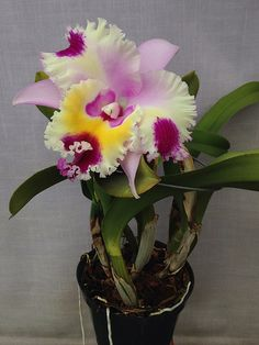 Cattleya Irene's Song 'Kellie' (Man's Song x Irene Finney)… Flowers Nature, Exotic Flowers, Tropical Flowers, Amazing Flowers, Pretty Flowers, Flowers Garden, Rare Orchids, Purple Orchids, Orchids By Hausermann