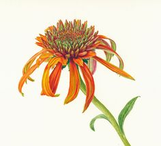 Echinacea Purpurea - Folio illustration agency, London, UK | Carolyn Jenkins - Watercolour ∙ Painterly ∙ Botanical ∙ Horticultural ∙ Photorealism - Illustrator