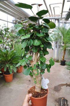 Die Fiederaralie - Polyscias Fabian ist eine Zimmerpflanze welche sehr leicht zu halten ist. Sie mag am liebsten eine hellen aber nicht zu sonnigen Standort und sollte mäßig gegossen werden. Die Temperaturen in der Wohnung...