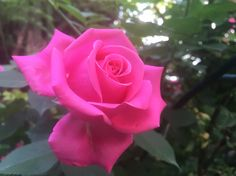 Do you like it? Do You Like It, Garden Roses, Beautiful Roses, Bloom, Flowers, Plants, How To Make, Pictures, Photos