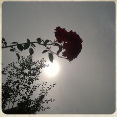 My photo  | rose | sun |