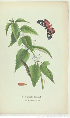 Les lépidoptères de la Belgique, leurs chenilles et leurs chrysalides décrits et figurés d'après nature. Tome 2 / par Ch.-F. Dubois,... et Alphonse Dubois fils,...   1874