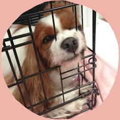"""@citydogphotography's photo: """"Squishy face""""   #crate #dog #funny #cute #silly #cavalier #kingcharlescavalier #squishyface"""