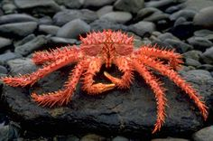 Let's learn about the different types of crabs! Just how many crabs are there? There are about five thousand sea crab species alone! Under The Water, Life Under The Sea, Under The Ocean, Sea And Ocean, Red King Crab, Crab Species, Patagonia, Alaskan King Crab, Sea Crab