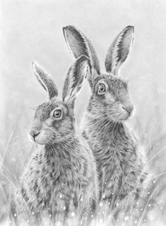 Hares Keeping watch By Nolon Stacey, graphite pencil drawing