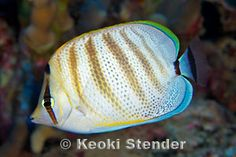 Multiband Butterflyfish (Chaetodon multicinctus) - endemic to Hawaiian Islands and Johnston Atoll