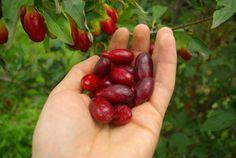 Cornelian-cherry dogwood (Cornus Mas) Plants