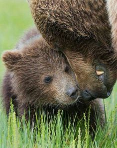 Bear with cub - copyright Tin Man Lee Cute Animal Photos, Animal Pictures, Nature Animals, Animals And Pets, Brown Bear, Black Bear, Bear Cubs, Bears, Wild Creatures