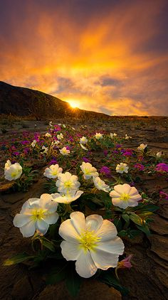 ~~A Desert Life | Sand Verbena and Primrose in bloom, sunset Anza-Borrego Desert State Park, California | by Bsam~~